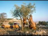 Judean goats, sheeps and hills